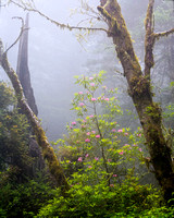 9925 Rhododendrons and Fog