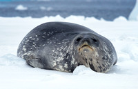 Weddell Seal, Disturbed