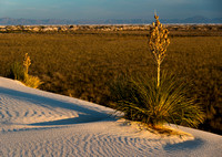 0724 White Sands Yucca at Dawn