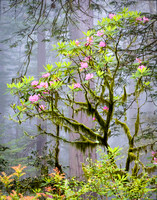 9869 Rhododendrons and Fog